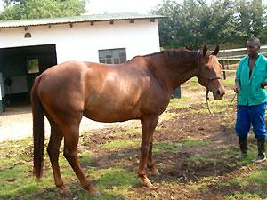 6yr warmblood mare