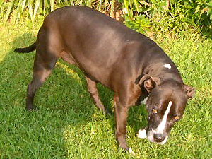 Putzi 8 year old Pit Bull female