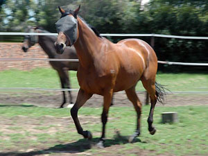 6yr TB gelding - after (1yr later)