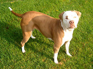 Jade 3 ½ year old Pit Bull female